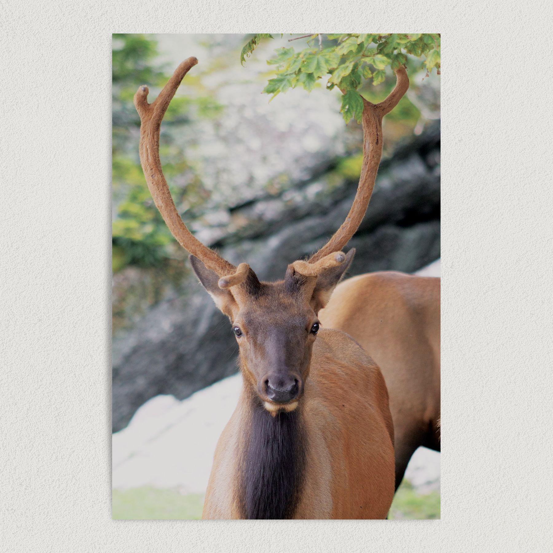 Buck In the Wild Art Print Poster 12″ x 18″ Wall Art N1000