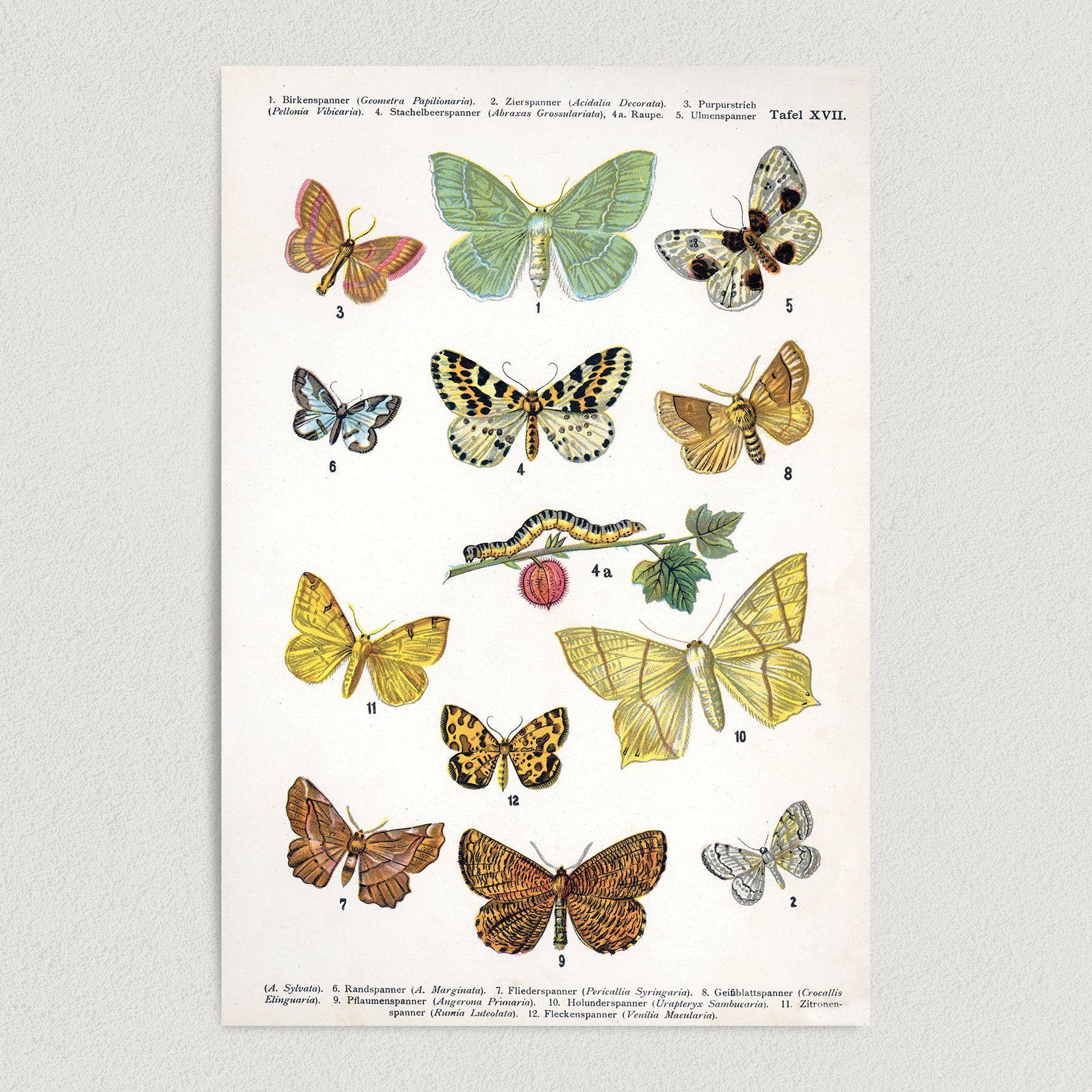 Butterflies A Sylvata Art Print Poster 12″ x 18″ Wall Art N1004