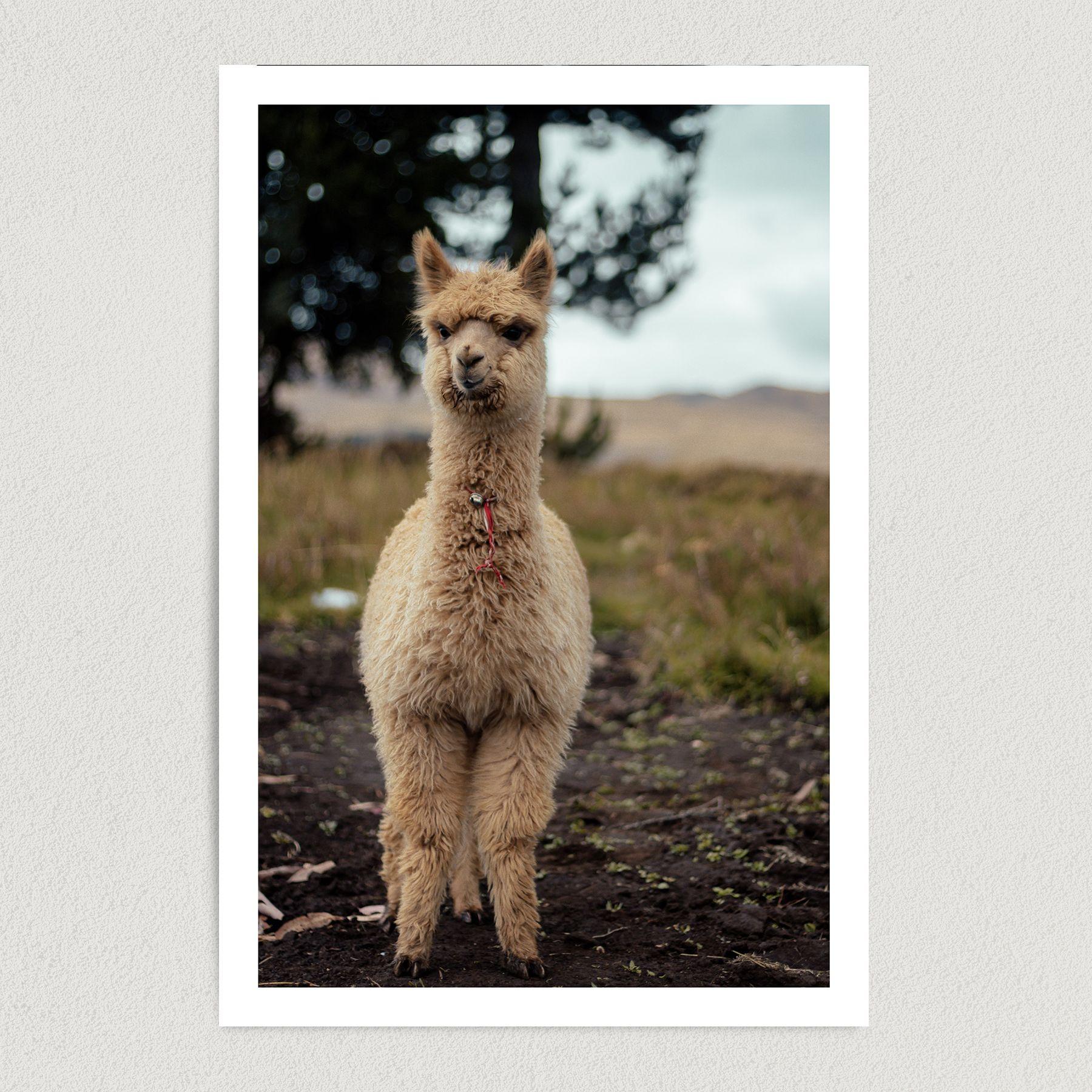 Cute Llama Smiling Art Print Poster 12″ x 18″ Wall Art EN2302