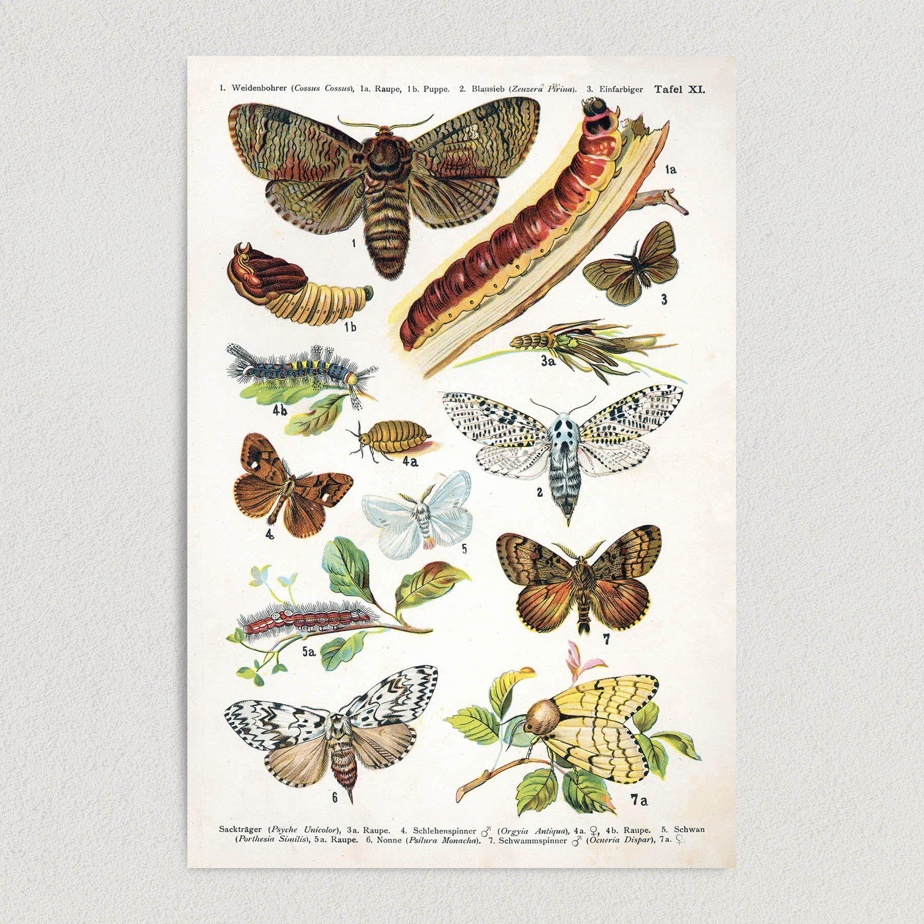 European Butterflies Art Print Poster 12″ x 18″ Wall Art N1006